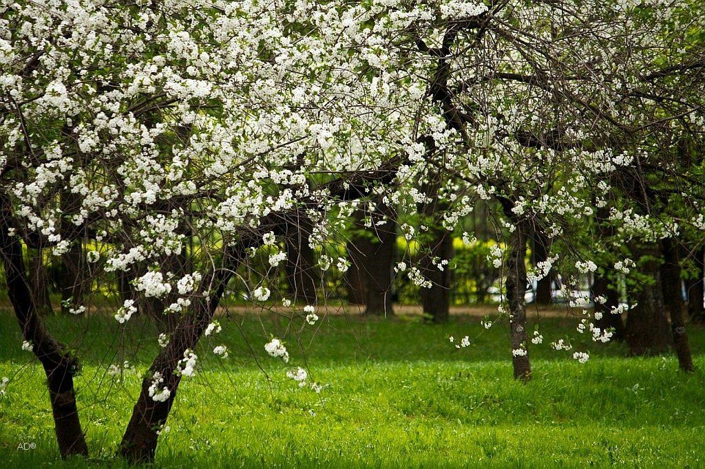 Яблоневые сады в Коломенском