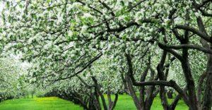 Яблоневые сады в парке Коломенское